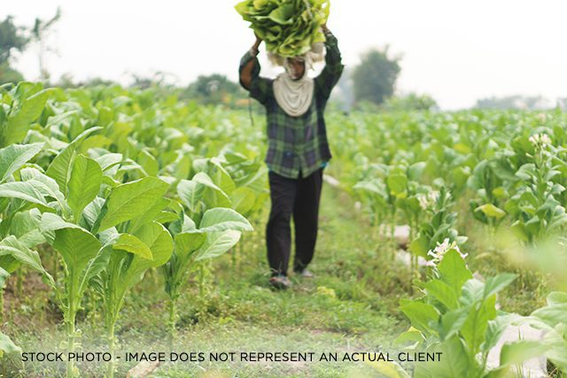 A non-U.S. citizen working in a field of green vegetables.