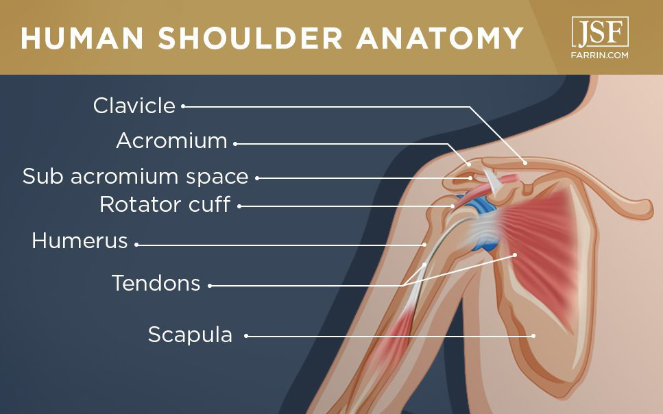 the human shoulder anatomy including the clavicle, rotator cuff, humerus, tendons & scapula