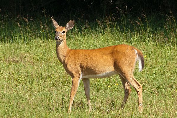 An adult female deer standing in a grassy meadow.